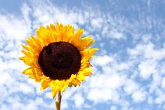 sunflower07