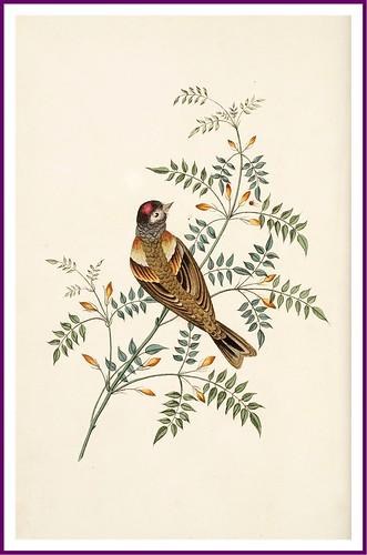 017-The bramble finch