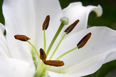 White Lily (Theresa Elvin) Tags: white flower macro lily digitalcameraclub theunforgettablepictures excellentsflowers