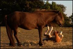 Having fun (Kirsten M Lentoft) Tags: sunset horses animals denmark firstquality ejby bej momse2600 multimegashot mmuahhh kirstenmlentoft fotokonkurrencerdkuge362009
