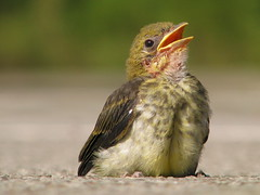 Scarlet Tanager baby learning to fly