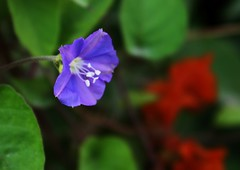 a tiny Blue flower (Sudheer S) Tags: simplyflowers