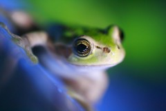 Frog the Model ( Spice (^_^)) Tags: blue pet color macro green eye nature beautiful face animal japan canon mouth eos amazing bravo kiss hand bokeh reptile finger small picture vivid amphibian august frog explore toad  bec dslr rana    froggy  grenouille gettyimages kikker         naturesfinest  r    cherryontop supershot   outstandingshots digitalx platinumphoto anawesomeshot cameradeourobrasil colorphotoaward impressedbeauty aplusphoto  goldstaraward rubyphotographer