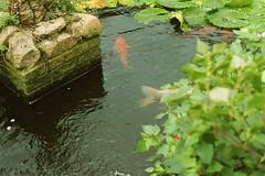 (spitpretty) Tags: fish minoltasrt101 koicarp