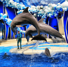 In Flight! (` Toshio ') Tags: show vacation people usa holiday man color water america mammal person orlando jump jumping colorful unitedstates florida dolphin south double southern aquatic seaworld porpoise dolpins toshio dolphinshow abigfave platinumphoto impressedbeauty superaplus aplusphoto goldstaraward