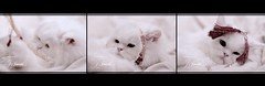 ~   ~ (J E W E L S) Tags: cats white cat worship muslims jewels ramadan month pussycat  allah doha qatar
