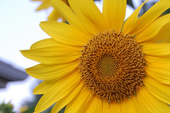 Sun Flower – Photographic Fridays # 15