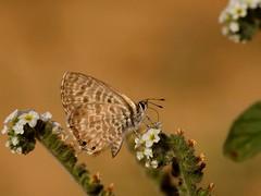 Leptotes pirithous (diegocon1964) Tags: lepidoptera leptotes lycaenidae papilionoidea lycaeninae leptotespirithous polyommatini