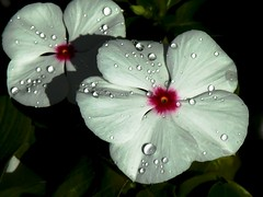 water drops on vinca 2 (royal19) Tags: flower water waterdrops picnik flowersadminfave