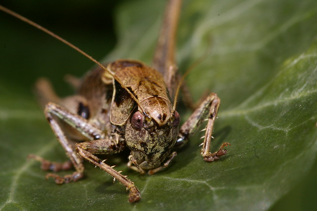 Crickets insects in england