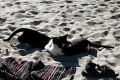 huggers (ph:)) Tags: cats beach hugging sand