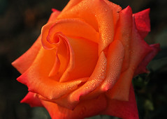 Orange Glory (Koshyk) Tags: orange flower macro nature beauty rose nikon pretty d70 shapely nikondslr