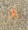 Tiny red beach spider 1