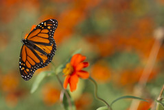 Monet's Monarch by dbarronoss, on Flickr