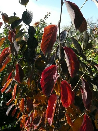 Hamamelis (witch hazel) fall color