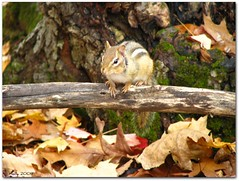 Lil Chipmunk in the woods