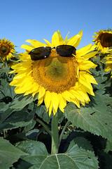 nature sunglasses yellow gold sunflower northdakota agriculture canon30d snoshuu lensefs1785mmf45f56isusm