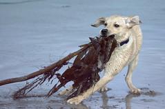 Barley and the Seaweed (Dan Baillie) Tags: sea dog seaweed beach scotland sand nikon lab labrador canine portfolio animalplanet dumfriesandgalloway puddock wigtownshire danbaillie bailliephotographycouk bailliephotography wigtownshirephotographer dumfriesandgallowayphotography