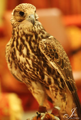 (Al Thani 89) Tags: al arab falcon thani  qatar falconry 89 saker       jalthani