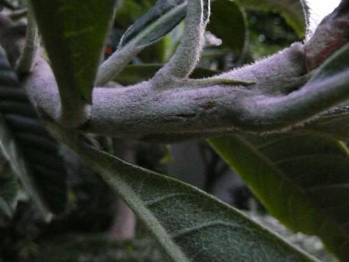 Eriobotrya japonica (japanese loquat)