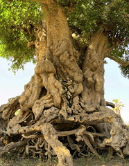 Exposed Roots HDR stitch (ukweli) Tags: africa tree sudan hdr nuba moro verticalstitch bgan southbelt kororak