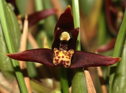 Maxillaria houlletiana