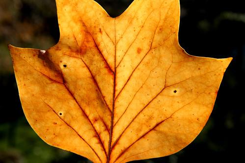 Folla Tulipeiro de Virxinia
