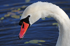 Mute Swan, Cygnus olor, Close-up, RSPB Old Moor, Barnsley (Steve Greaves) Tags: wild white black reflection bird nature water closeup swimming bill droplets wildlife feathers bluewater floating aves naturalhistory waterdrops brampton afloat barnsley muteswan cygnusolor southyorkshire plumage rspb orangebeak oldmoor dearnevalley nikonafsvr70300f4556gifed nikond300