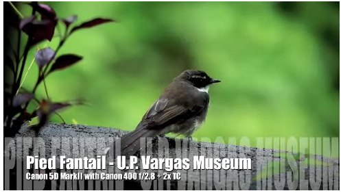 Pied Fantail video by U.P. Vargas Museum