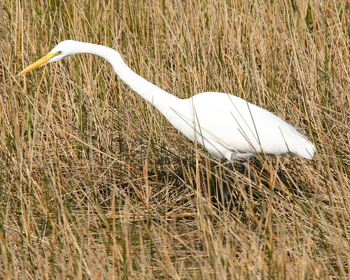 Great Egret 20081129