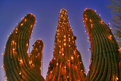 Christmas lights on a saguaro