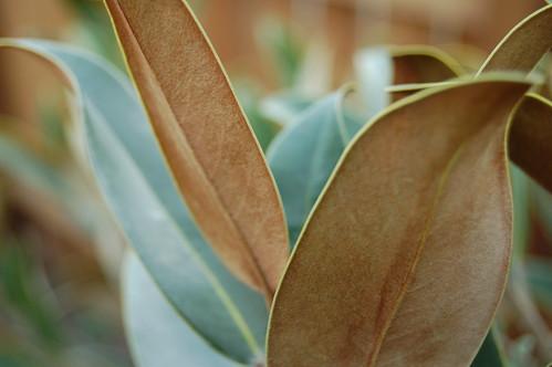 Alta Southern Magnolia leaves