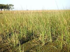 GIANT BULRUSH (Schoenoplectus californicus var. californicus) JUNCO ~ original = (3072 x 2304) (turdusp
