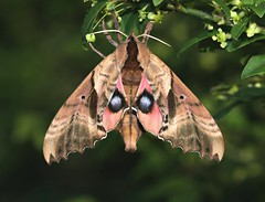 Blinded Sphinx Moth (DrPhotoMoto) Tags: lepidoptera moths sphingidae blindedsphinx paoniasexcaecatus paonias butterfliesandmoths sphinxmoths bombycoidea smerinthini aplusphoto blindedsphinxmoth smerinthinae sphingidaemundi