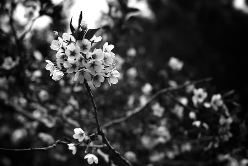 B&W Cherry Blossoms