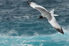 soar (brodmann's 17) Tags: cliff island wings gull galapagos hood soar espanola swallowtailed mywinners abigfave platinumphoto theunforgettablepictures fotocompetitionbronze tuw073