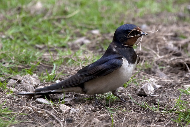 Barn Swallow (Hirundo rustica) gathering nest material