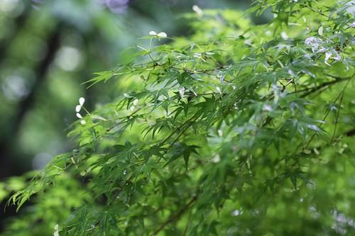さわやかな若葉 / Refreshing young leaves