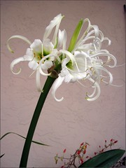 Group of spider lilies 2