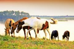 Acolherados (Eduardo Amorim) Tags: sunset brazil horses horse southamerica field brasil criollo caballo cheval