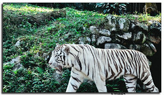 White Tiger (DeCastroJr) Tags: park wild white nature ecology beautiful animal rock forest cat dark relax asian zoo big dangerous nikon feline asia power fierce outdoor wildlife indian tiger watch stripe free conservation anger safari claw jungle killer albino tropical beast catch environment strong rest hunter aggression predator habitat biology snout hunt captivity carnivore d90 nikond90