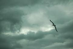 Royal Albatross (trentcsc) Tags: newzealand sky birds animals clouds flight places southisland dunedin seabirds albatross royalalbatross