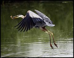 watson6:26 (Kent Ferguson Photography) Tags: blue heron great guelph