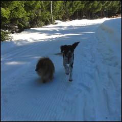 iris et capou font du ski de fond sans ski en forêt de Cezens (lundi 10 mars 2014)