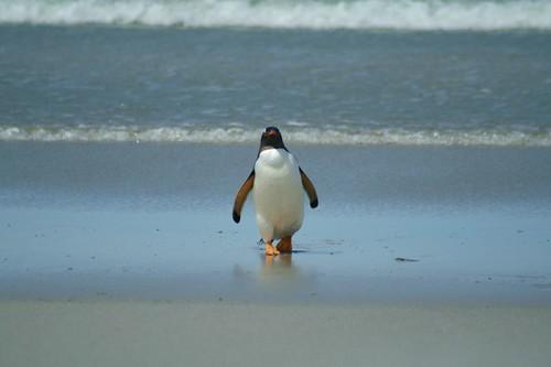 Gentoo Penguin coming in from the Ocean