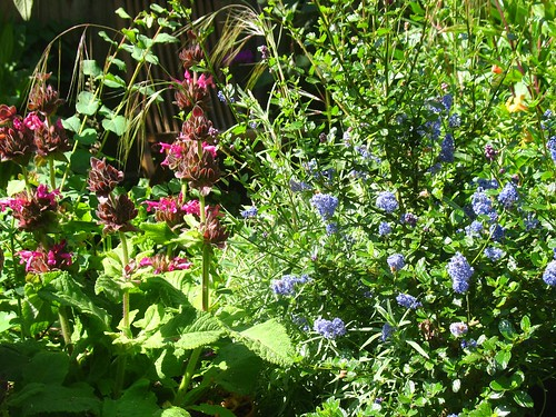 Salvia spathacea + Ceanothus 'Frosty Blue'