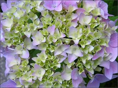 Hydrangea, partial bloom