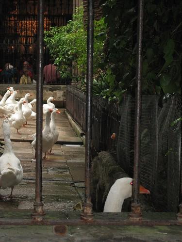 080522. evil goose. barcelona cathedral.