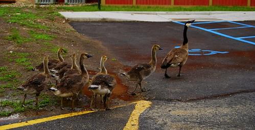 geese DSC_7714