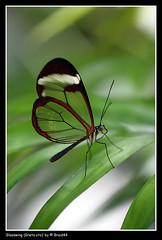 Transparent ( Pere Soler) Tags: verde green hoja butterfly leaf transparent mariposa gusano verd transparente papillion castell naturesfinest papallona mariposario glasswing butterflypark gretaoto allrightsreserved specanimal braid44 natureselegantshots mariposadecristal peresoler
